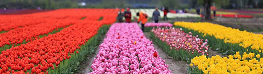 Miljoonan tulppaanin festivaalit